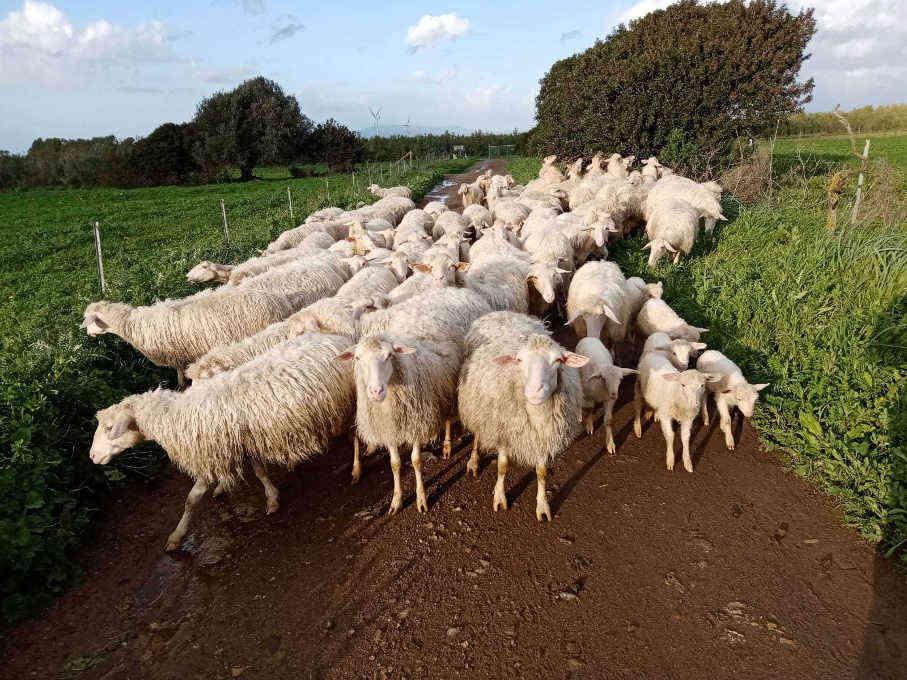 Pecore al passaggio